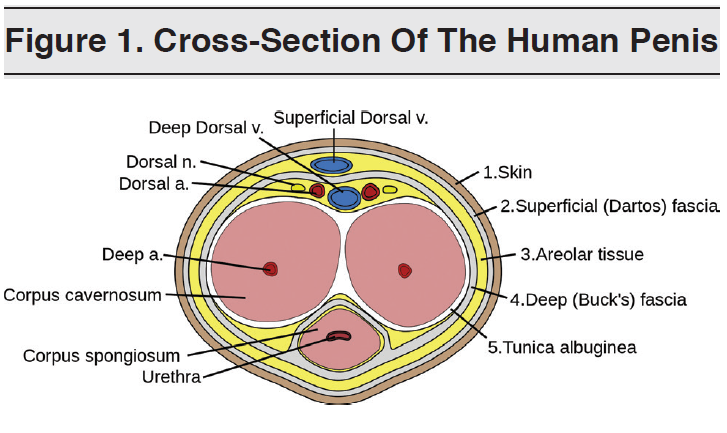 Figure 1 - Cross-Section Of The Human Penis