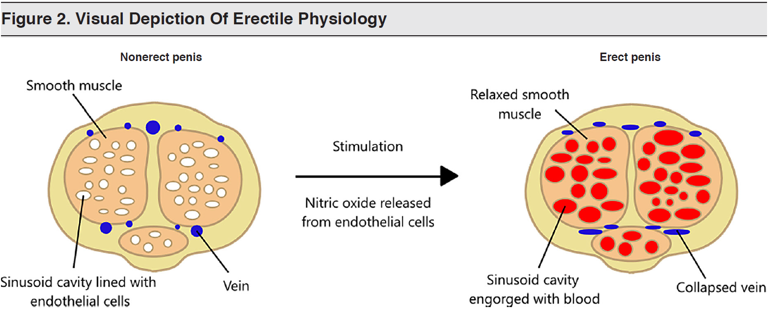 Figure 2 - Visual Depiction Of Erectile Physiology