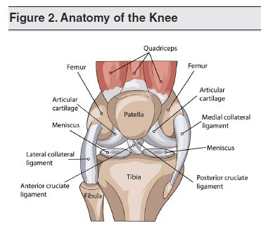 Figure 2. Anatomy of the Knee