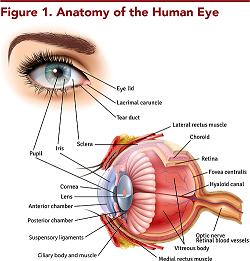 Figure 1. Anatomy of the Human Eye
