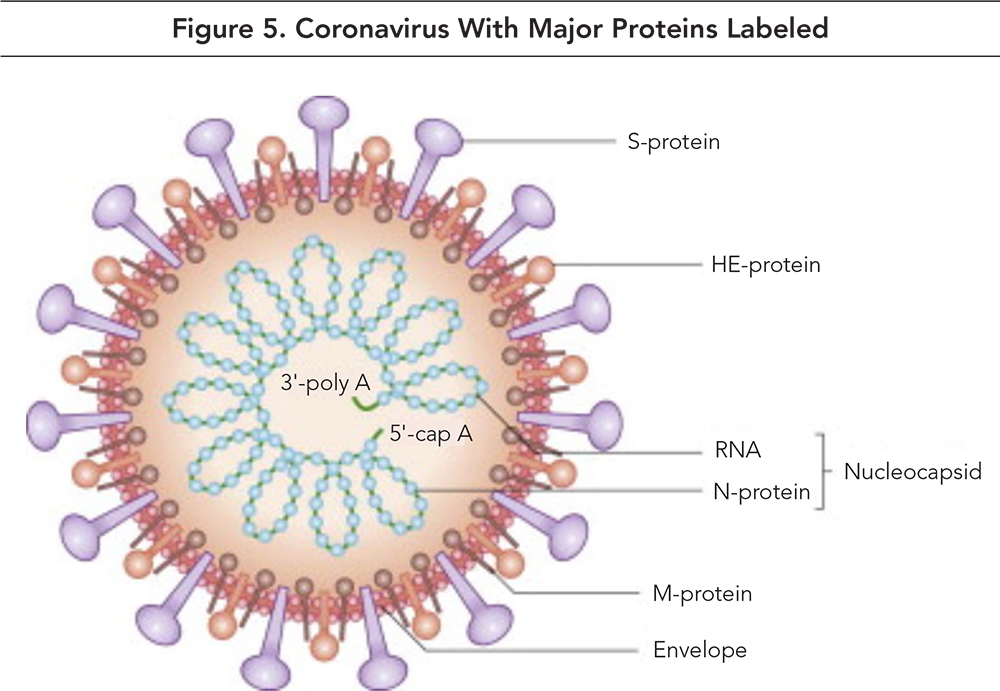 Figure 5. Coronavirus With Major Proteins Labeled